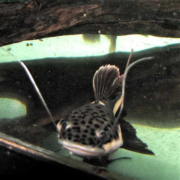 Spotted Red Tail Catfish