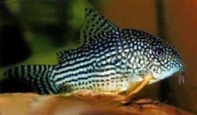 Sterbai Cory Catfish