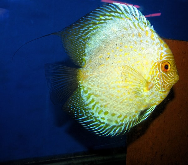 Yellow Crystal Leopard Discus