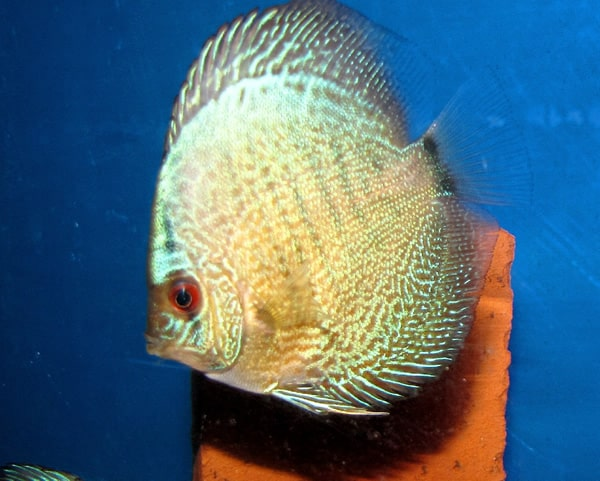 High Bodied Neon Scorpion Discus (2 Inches)
