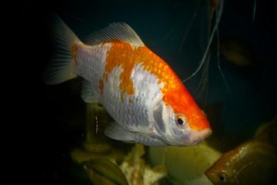 Extra Large Goldfish (6 - 8 Inches)