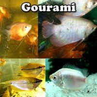 Gourami