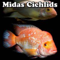 Midas Cichlids