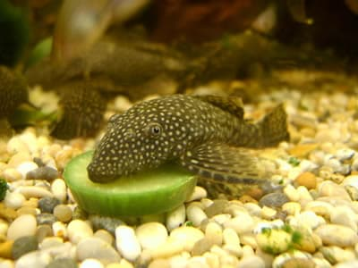 Bushy Nose Pleco