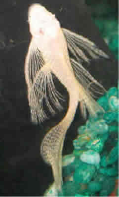 Long Finned Albino Bushy Nose Pleco
