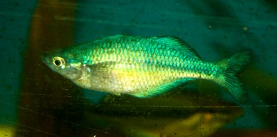 Emerald Green Rainbow Fish (2 - 3 Inches)