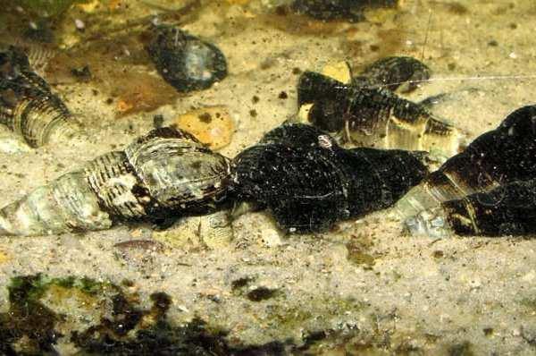Antenna Aquarium Snail