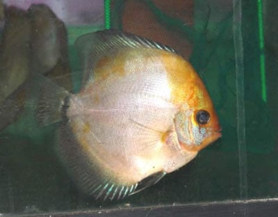 Calico Ghost Discus (2 Inches)