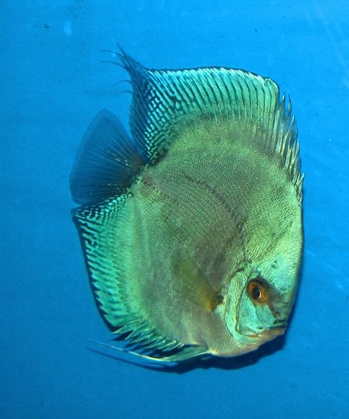 Cerulian reflection discus 2 inches aquarium fish for sale for Archer fish for sale