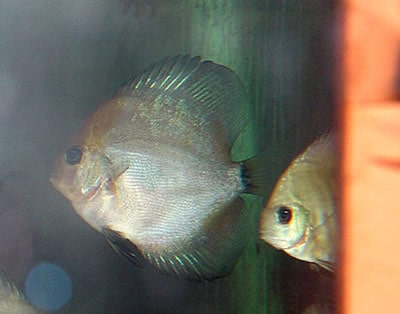 Ghost Discus (2 Inches)