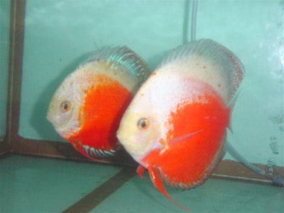 Red White Discus (2 Inches)
