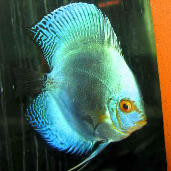 Violet Diamond Discus (2 Inches)