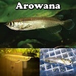 Arowana For Sale
