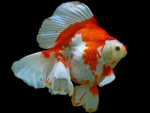 Ryukin goldfish 3 inch aquarium fish for sale for Archer fish for sale