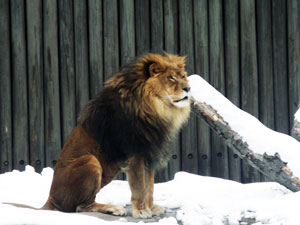 lion at Clev Metroparks Zoo
