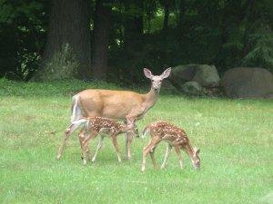 庭にやってきた鹿の親子。双子ちゃん連れてますよー。
