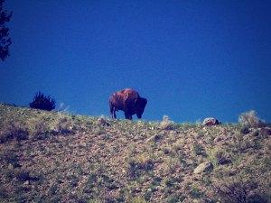 十数年まえに、イエローストーン国立公園で出遭ったバッファロー。