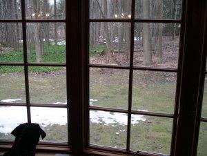 ハウンド犬の血が騒ぐのか、ベラちゃんは鹿に夢中。