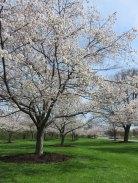 JANO(Japanese Association of Northeast Ohio)がコツコツ植えてる桜並木は最高です!