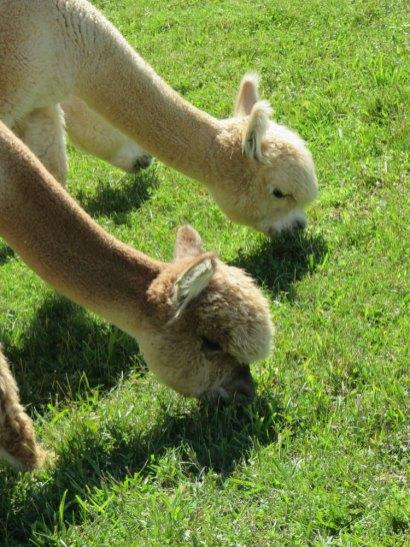 日曜には農場公園に行き、アルパカさんに出会いました。