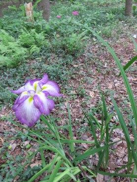 森の中で咲くあやめ。