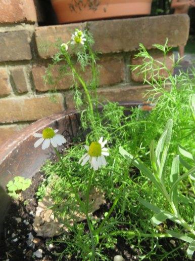 今年はじめて植えたカモミールも咲きました!