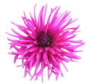 pink cactus dahlia