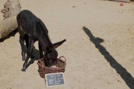 Kleiner Poitou-Esel im Kölner Zoo geboren