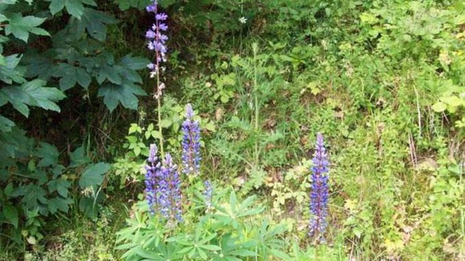678px_lupine
