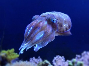 Cuttlefish showing blue blood