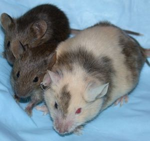 4 major reasons why blood type tests can show different results Chimera-mice