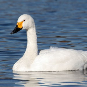 Tundra (Whistling) Swan