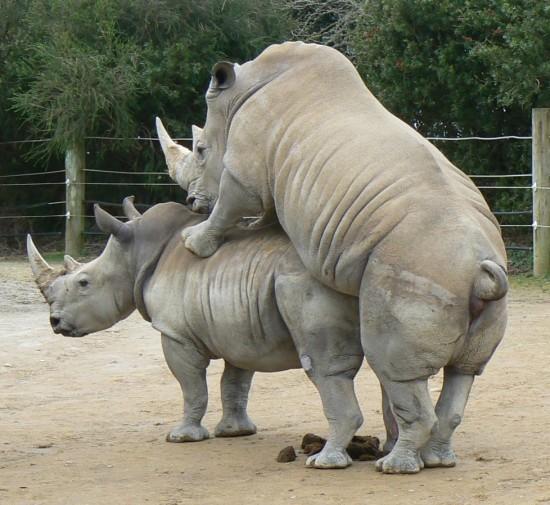 rhino...