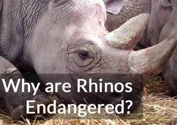 Why are Rhinos Endangered – Why are Rhinos Being Hunted?