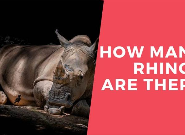 How Many Rhinos are there in the World? Number of Rhinos