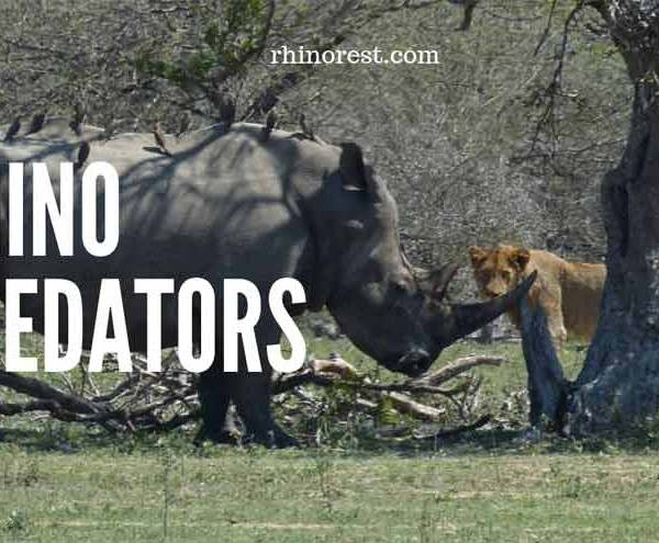 Rhino Predators – What Animal would Kill a Rhinoceros?
