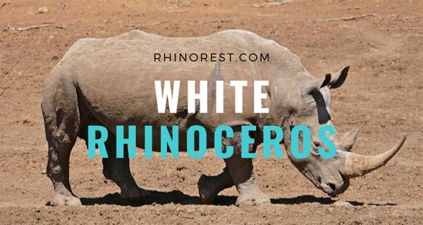 White Rhinoceros – Facts | Habitat | Extinct | Size | Diet
