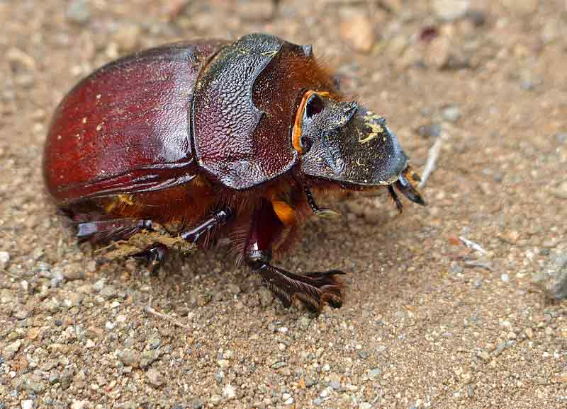 Dung Beetle – Facts | Traits | Profile | Ecology | Behavior | Function