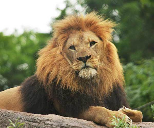 African Lion facts – Profile | Traits | Description | Behavior | Habitat