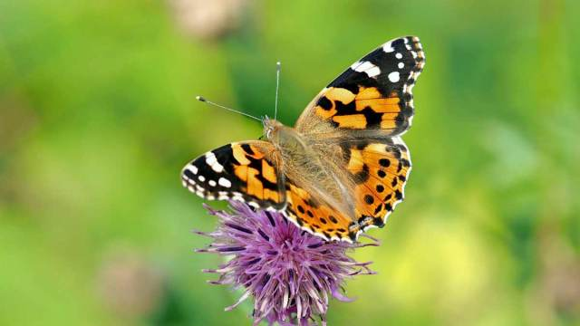 11 facts about monarch butterfly
