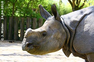 Nashornbub Samir, 24. April 2010