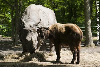 Er teilt sogar sein Futter! Nepal und ein Takin-Mitbewohner, 9. Mai 2010 (Sóstó Zoo)