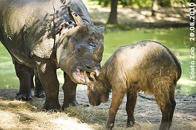 Nepal und einer der beiden Takin-Mitbewohner, 20. August 2010 (Foto: Sóstó Zoo)
