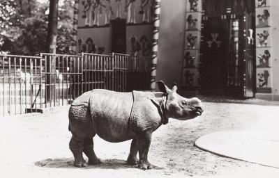 Zutuma als Baby im Jahr 1972 (Foto (c) Zoo Planckendael)