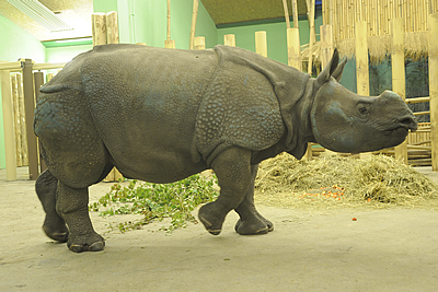 Manjula erkundet die Innenanlage, 1. Juni 2010 (Foto: Zoo Pilsen)