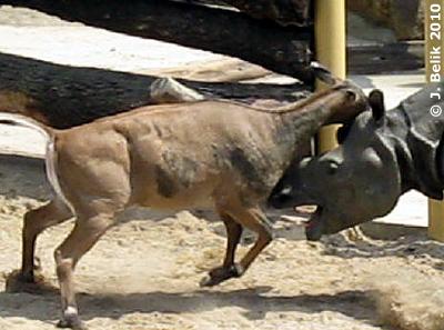 Wer ist stärker? Sundari oder Frau Nilgau? 26. Juni 2010