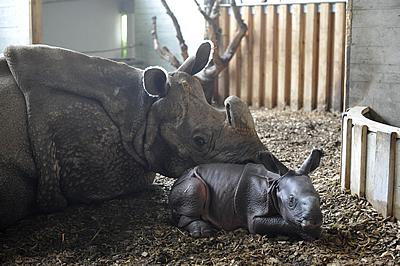 Mama Ellora mit ihrem Neugeborenen nach der ersten Nacht, 24. Juli 2010 (Foto: Thomas Jermann / Zoo Basel)