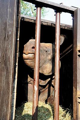 Beni bei der Abreise nach Chester, 22. August 2011 (Foto: Zoo Pilsen)