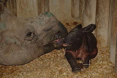 Shiwa und ihr Neugeborenes kurz nach der Geburt, 8. Februar 2012 (Foto: Terra Natura Benidorm)
