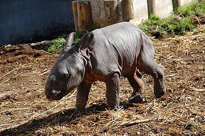 Der kleine Tuto, eine Woche alt, 15. Februar 2012 (Foto: Terra Natura Benidorm)